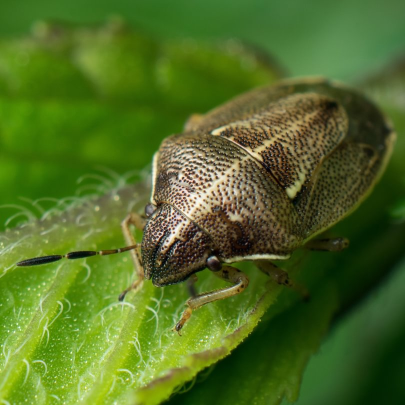 Wavy Brown Skink Bug Neottiglossa undata columbia county northwest oregon
