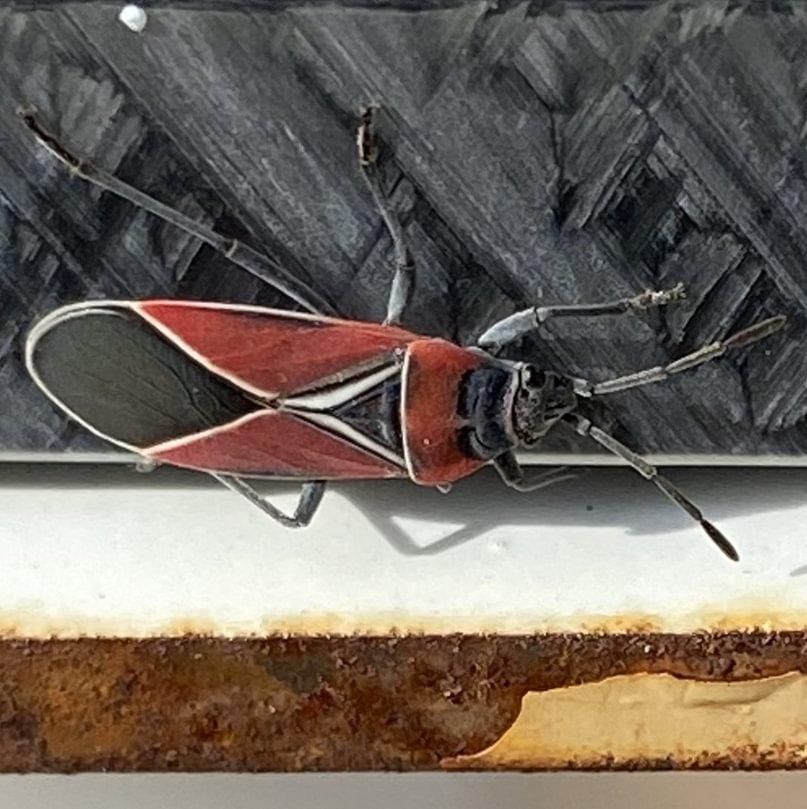 White-crossed Seed Bug Neacoryphus bicrucis columbia county oregon