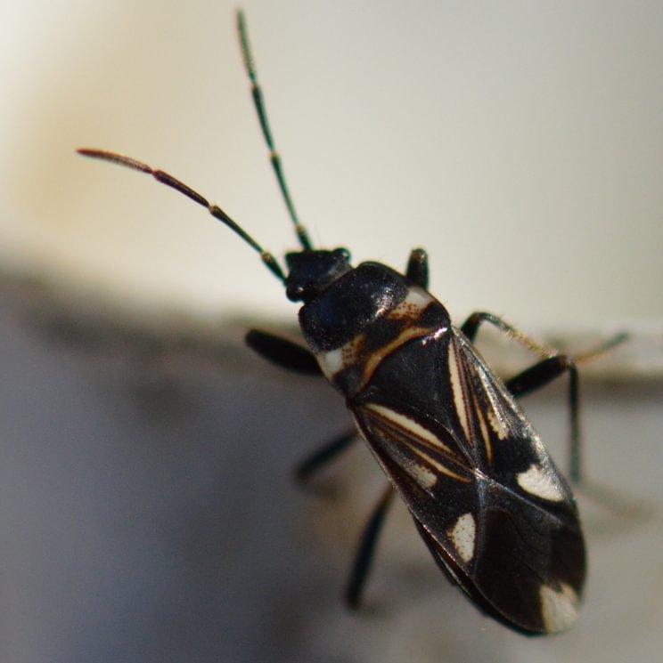Tuxedo Seed Bug Raglius alboacuminatus columbia county oregon