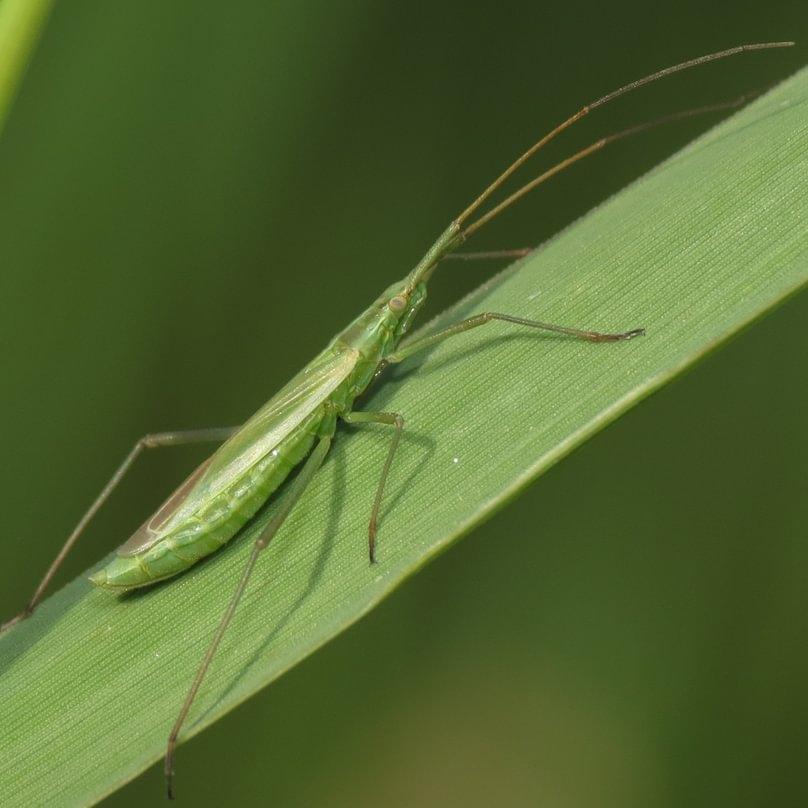 Long Thin Plant Bug Megaloceroea recticornis columbia county oregon