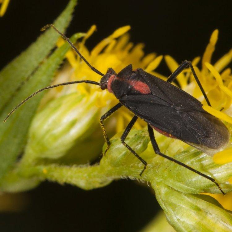 Bright-collared Plant Bugs Prepops columbia county northwest oregon