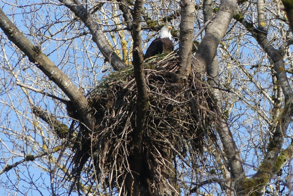 Bald Eagle nest Prescott Beach County Park Columbia River Rainier columbia county