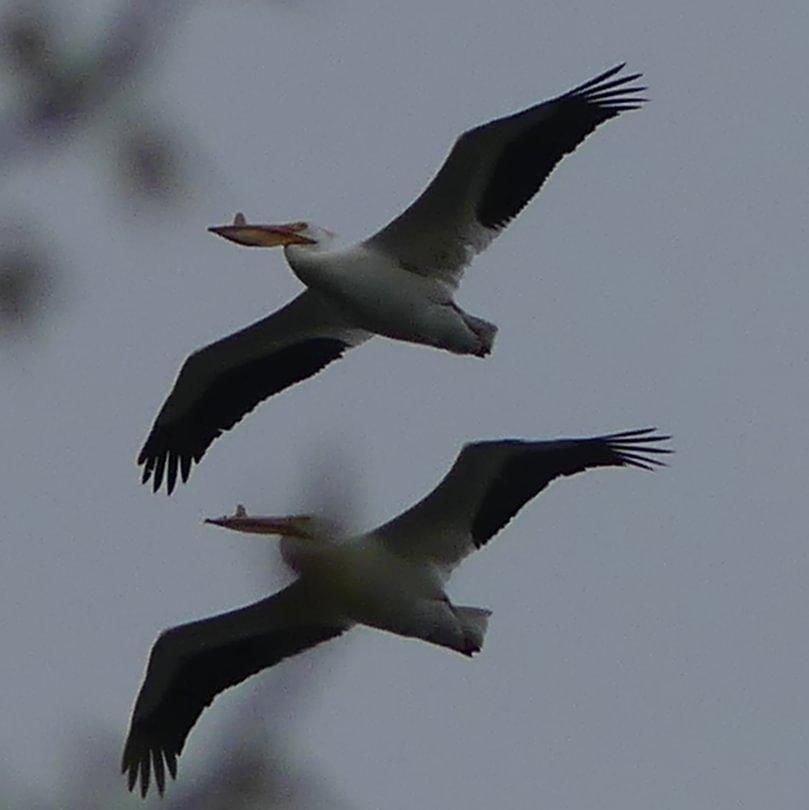 American White Pelican Trojan Park Goble Prescott Rainier Columbia County oregon