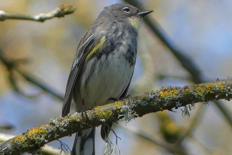 Audubon's Warbler Trojan Park Prescott Goble Rainier Columbia County Oregon