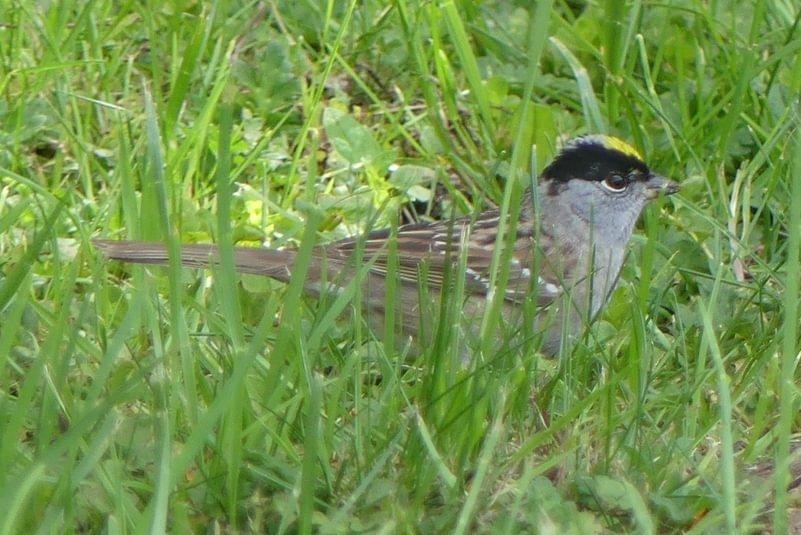 Golden-crowned Sparrow Trojan Park Prescott Goble Rainier Columbia County Oregon