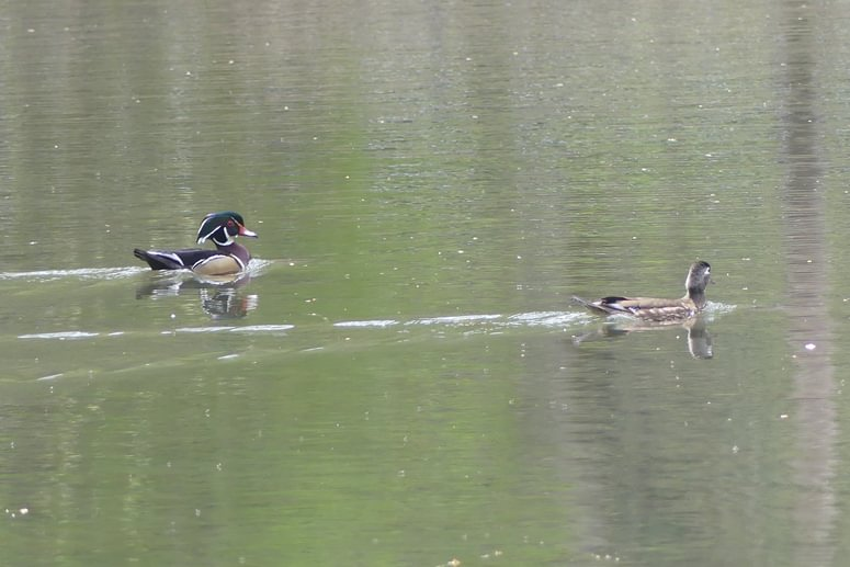 Wood Ducks Trojan Park Prescott Goble Rainier Columbia County Oregon