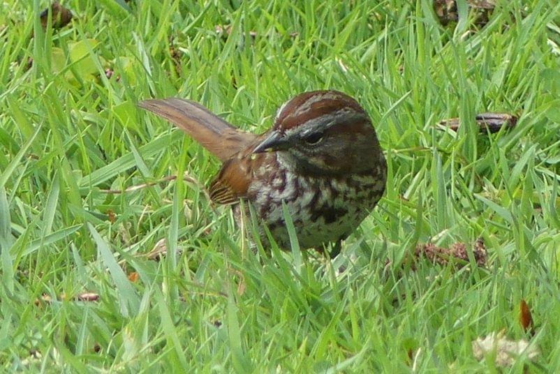 Song Sparrow Trojan Park Prescott Goble Rainier Columbia County Oregon