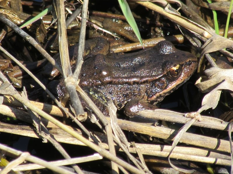 Northern Red-legged Frog Trojan Park Goble Prescott Rainier Columbia County Oregon