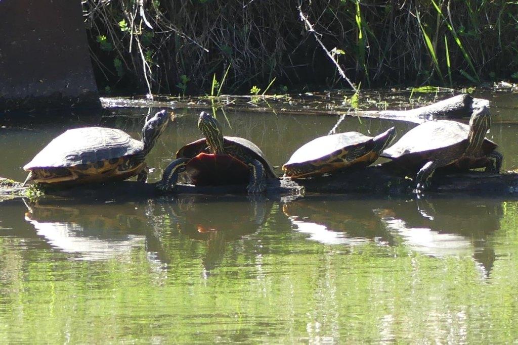 Western Painted Turtles Red-eared Sliders Trojan Park Goble Prescott Rainier Columbia County Oregon