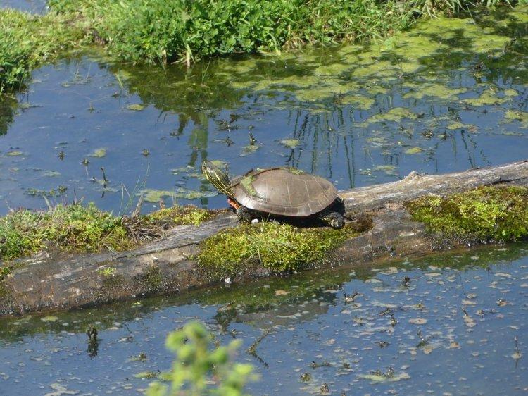 western painted turtle clatskanie oregon