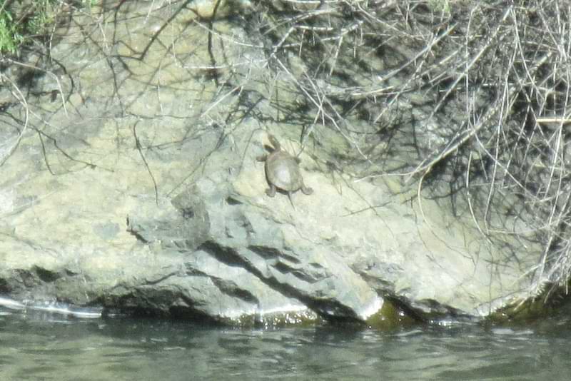 red-eared slider turtle river california