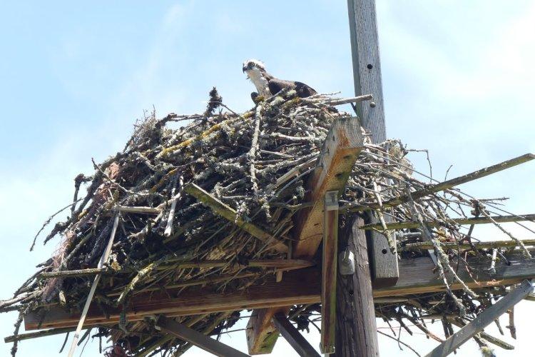 osprey nest Sauvie Island Westside Unit Columbia County Oregon