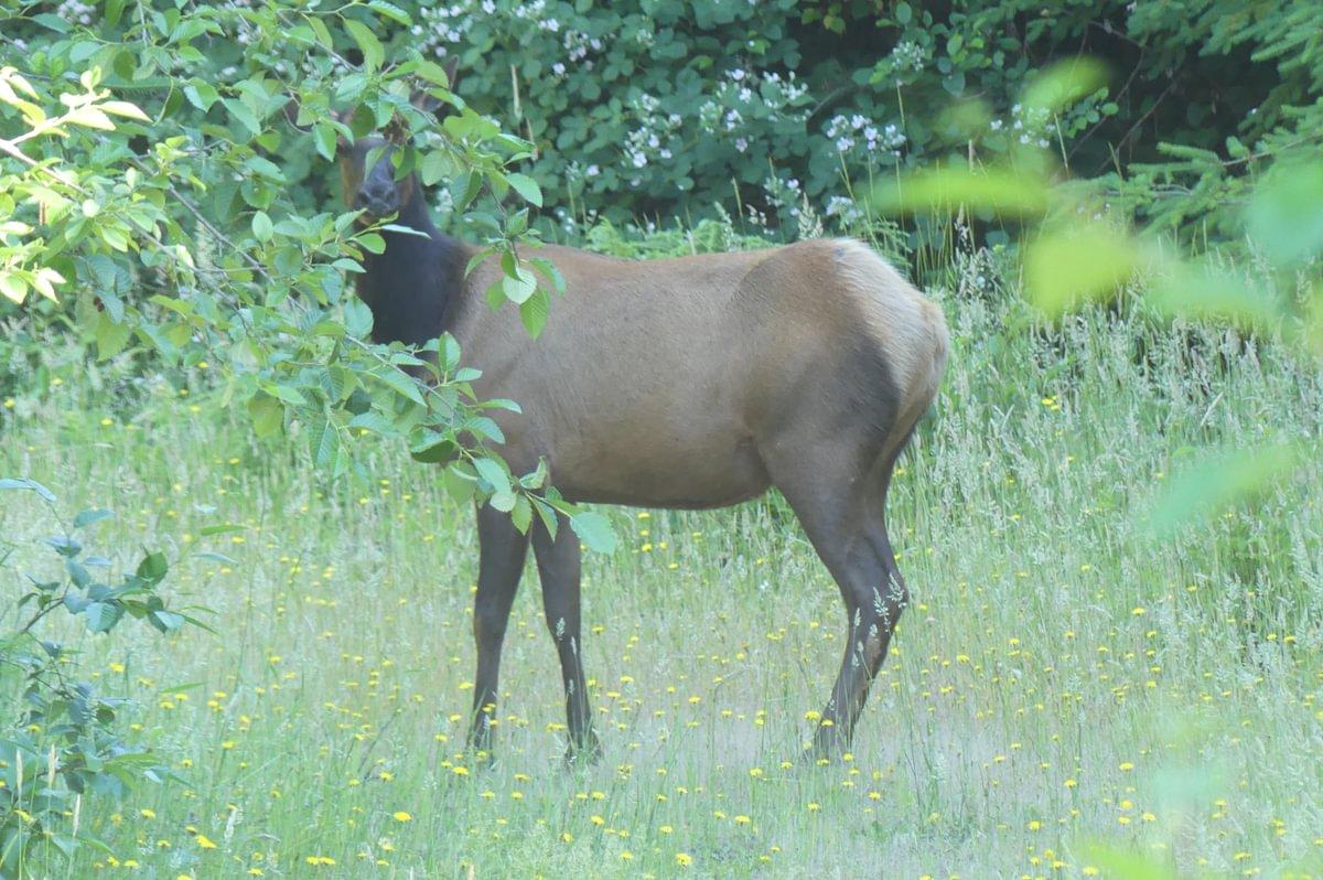 cow roosevelt elk Cervus canadensis roosevelti columbia county oregon