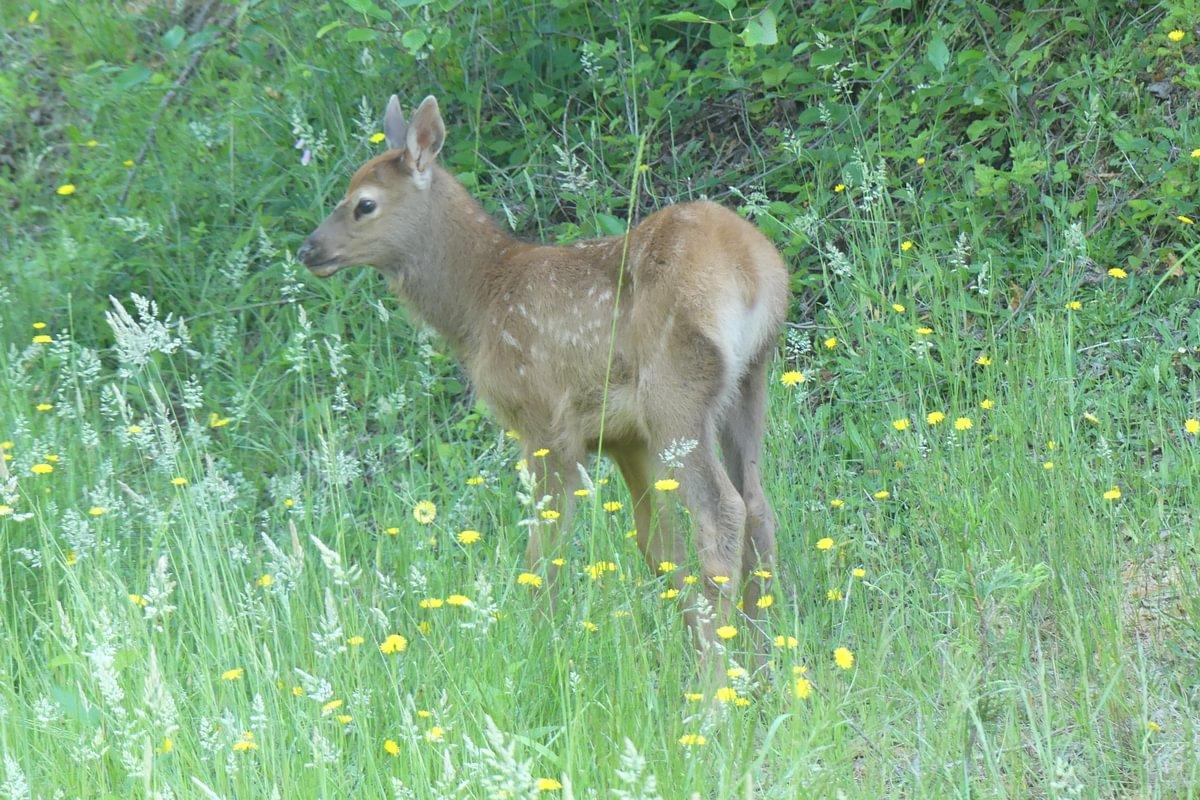 calf roosevelt elk Cervus canadensis roosevelti columbia county oregon