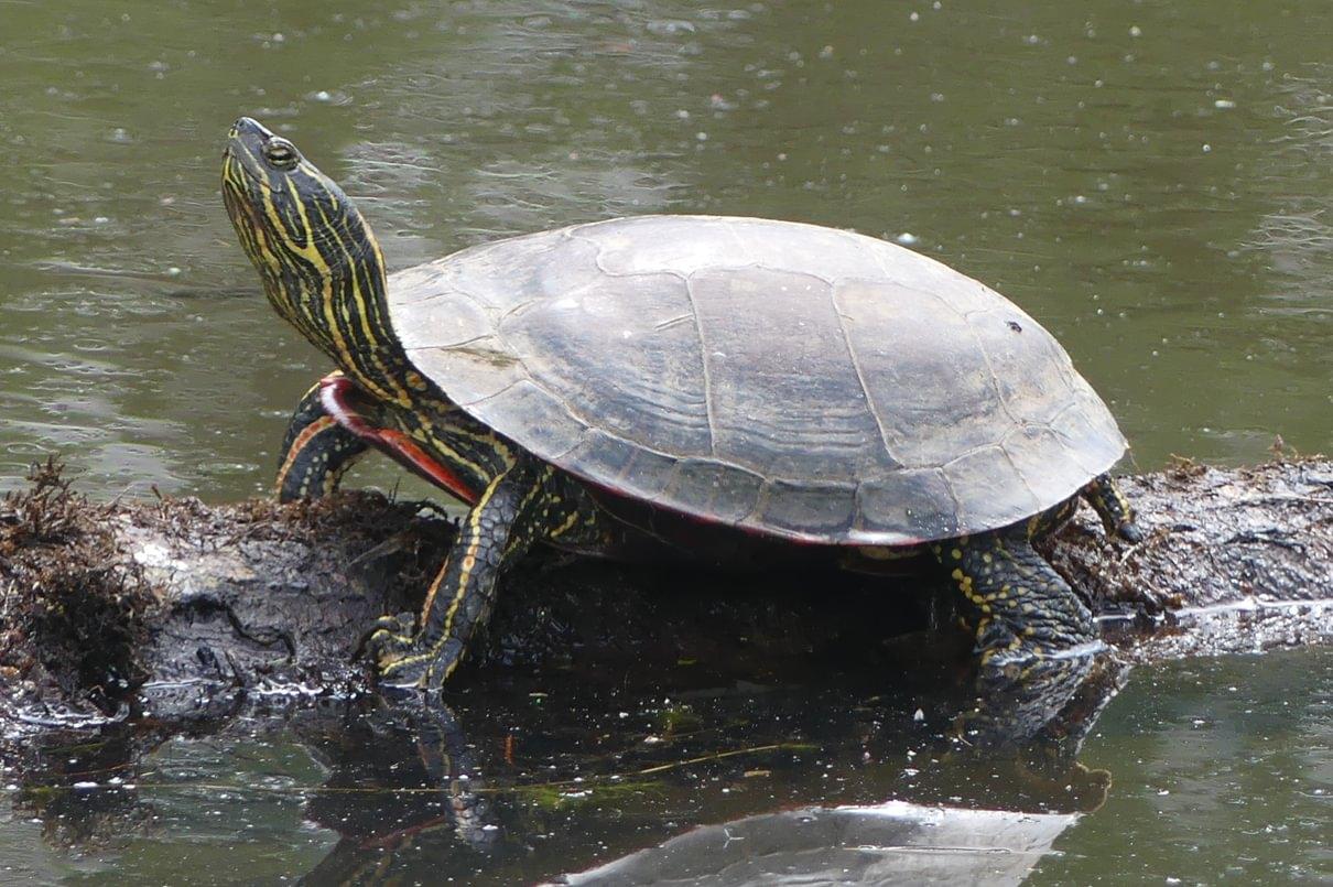 Western Painted Turtle Chrysemys picta bellii rainier prescott oregon columbia county trojan ponds park
