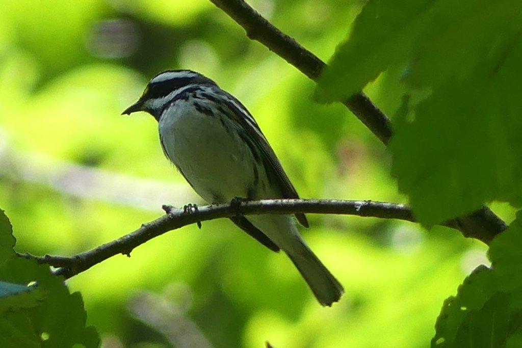 Black-throated Gray Warbler salmonberry reservoir st. helens tree farm columbia county oregon
