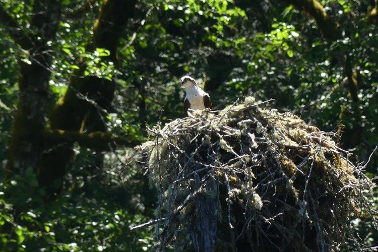 scout lake osprey clatskanie oregon columbia county