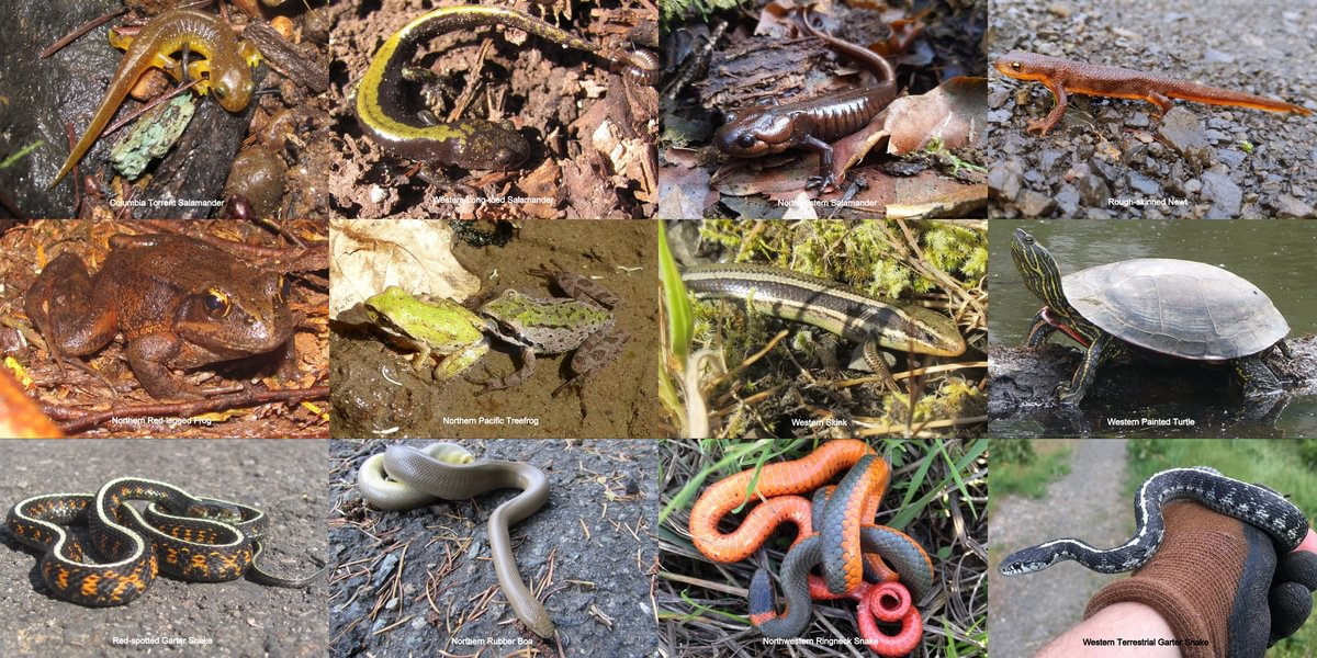 Columbia County Reptiles and Amphibians herps local