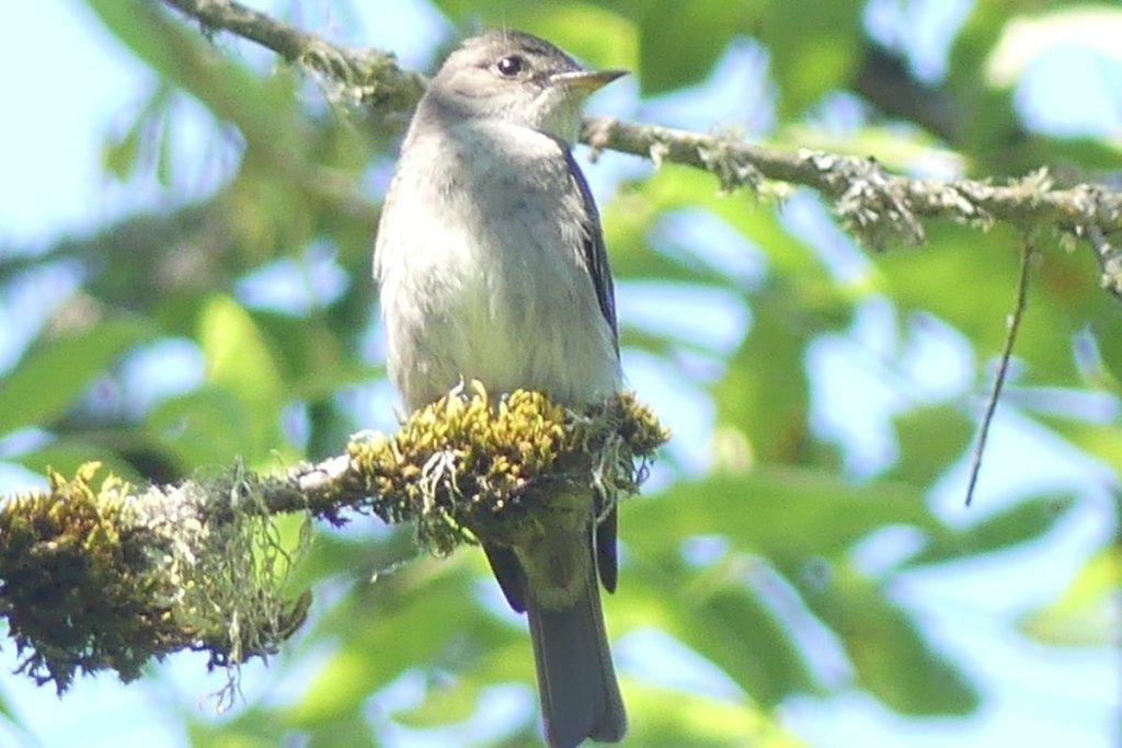 Western Wood Pewee westside unit Sauvie Island columbia county oregon