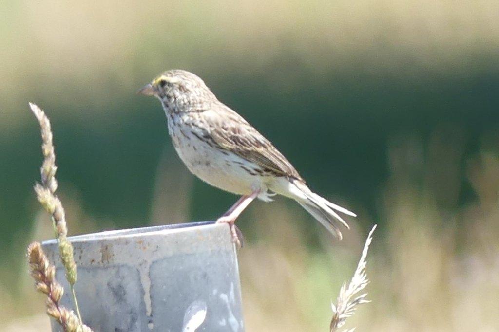 Savannah Sparrow westside unit Sauvie Island columbia county oregon