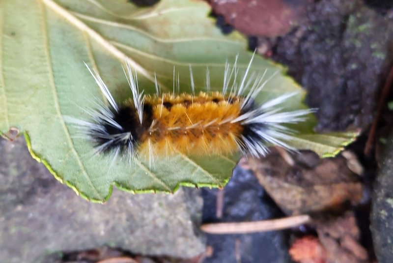 Spotted Tussock Moth Lophocampa maculata four county point trail columbia county oregon