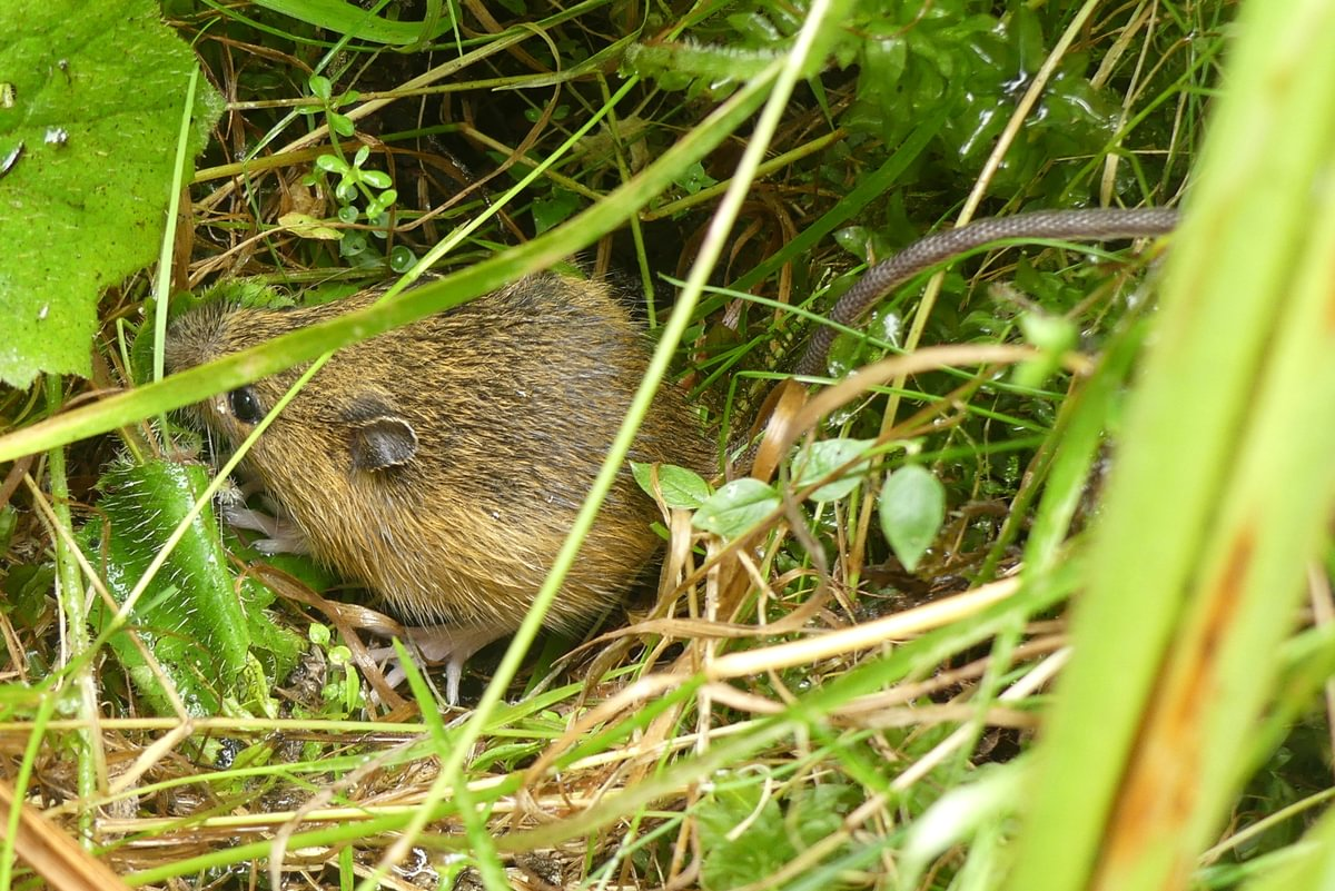 pacific jumping mouse Zapus trinotatus columbia county oregon creek falls