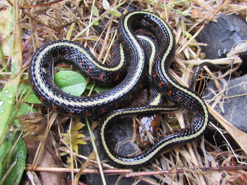 Red-spotted Garter Snake Thamnophis sirtalis concinnus columbia county oregon